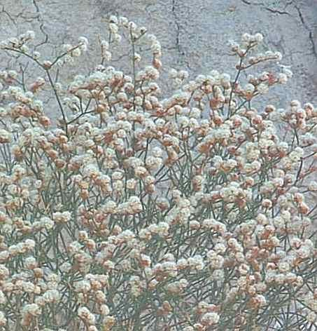 Eriogonum heermannii, Heerman Buckwheat with it's reddish white flowers.