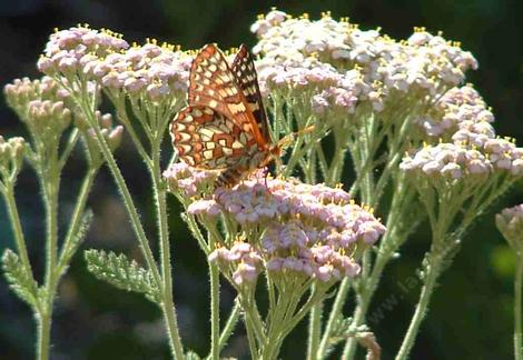 Variable Checkerspot butterfly on a pink Yarrow. - grid24_12