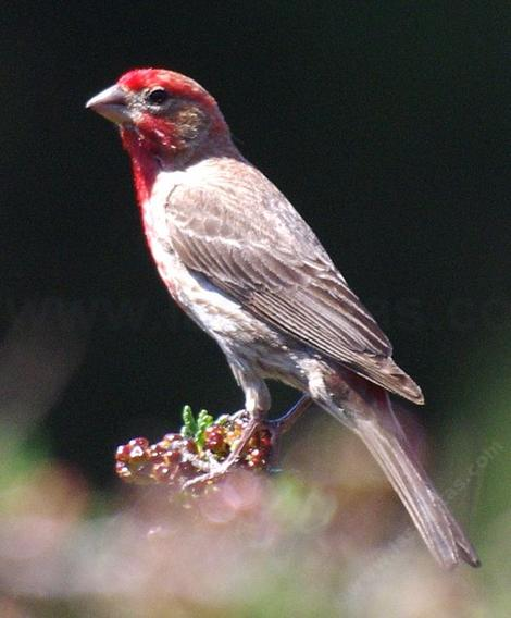 A male House Finch - grid24_12