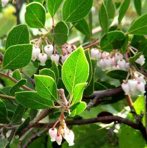 Arctostaphylos hookeri, Wayside manzanita, this manzanita works great in beach sand near the coast. But we've used it in heavy clay on drip and the plants lived. (At least long enough for us to get off the project.) Amazing!