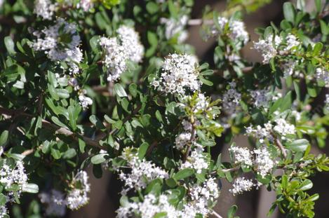 Ceanothus ramulosus in the ground in Santa Margarita