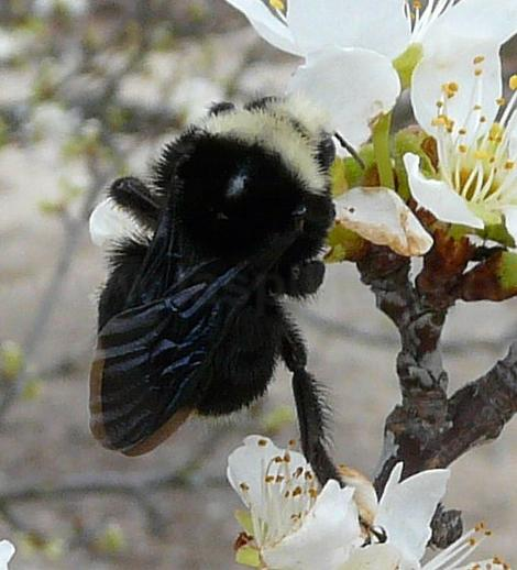 Bombus vosnesenskii bumblebee on a plum flowers, this one is probably a queen. - grid24_12