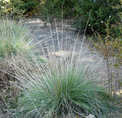 Muhlenbergia rigens,  Deer Grass, is shown here with flowering stalks on the edge of a garden path. This native grass has all sorts of uses.