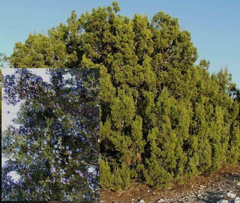Juniperus californica, California Juniper tree - grid24_12