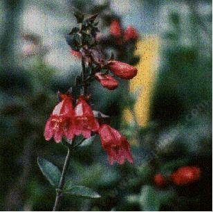 an old picture of Penstemon newberryi  sonomensis,  Sonoma Beardtongue.