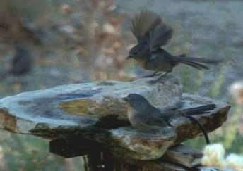 Wrentit in the birdbath - grid24_12