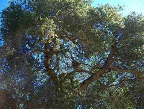Looking up into a Coast Live Oak - grid24_12