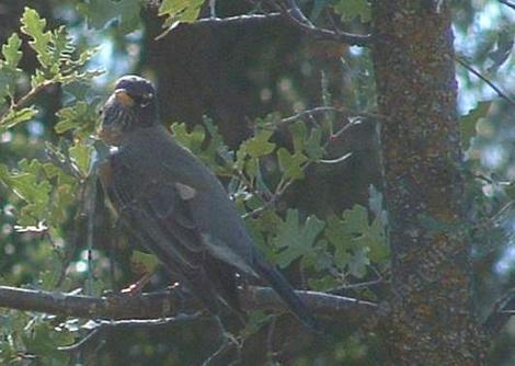 American Robin setting in a Valley oak - grid24_12