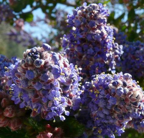 The Ceanothus impressus nipomensis has the weird red blue green color that also shows up in Ceanothus Celestial Blue. - grid24_12