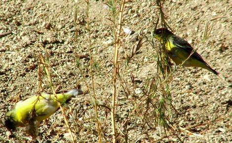 Lesser Goldfinches foraging for seeds. - grid24_12