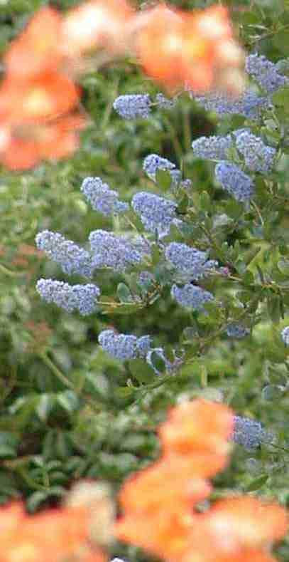 Ceanothus LT Blue  and Desert Mallow in a California Garden, both of these native plants are showy and flower about the same time. - grid24_12