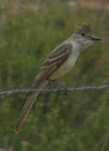 Ash-throated flycatcher, Myiarchus cinerascens - grid24_12