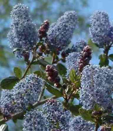 A Ceanothus with red buds, blue flowers. - grid24_12