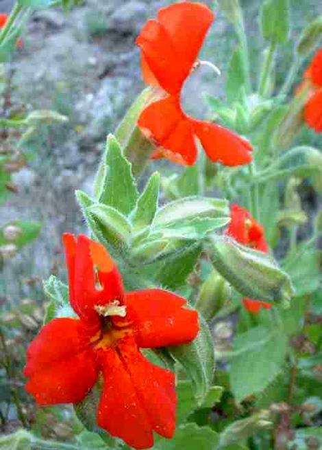 The flowers of Mimulus cardinalis, Scarlet Monkey Flower, have an unusual shape or form in comparison to many other Mimulus species.
