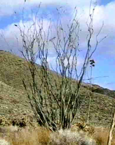 An old picture of a Fouquieria splendens, Ocotillo in a desert wash in Anza Borrego. - grid24_12