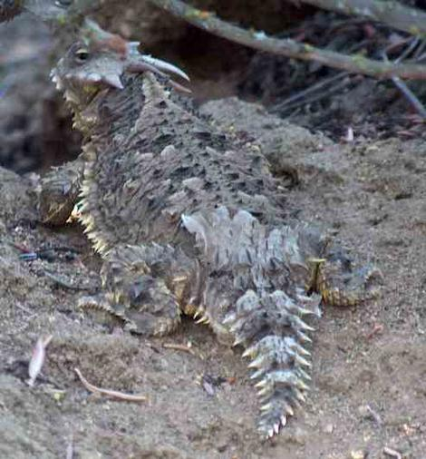 A Blainville's (Coast) Horned Lizard Phrynosoma (Anota) coronatum sometimes called a horny toad. Term of endearment expressed by wife? - grid24_12