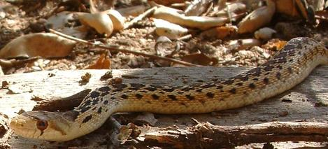 Gopher snake crawling through garden, by close - grid24_12