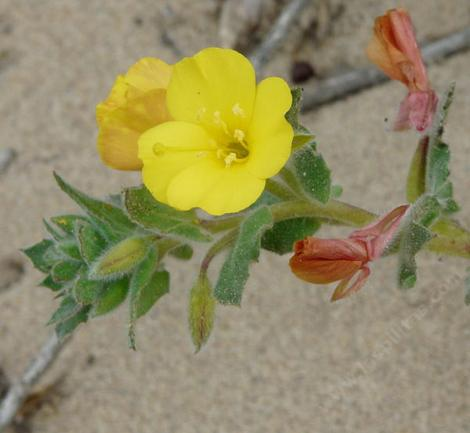Camissonia cheiranthifolia ssp. suffruticosa, Beach Evening Primrose  in flower.