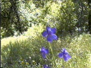 Delphinium parishii, Sky Blue Larkspur, is shown here in the central oak woodland of California, amongst the weeds, and other wildflowers.