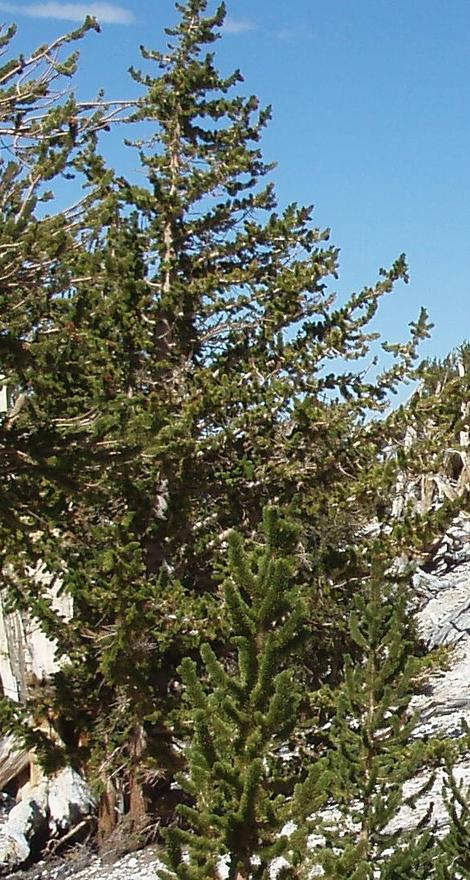 Pinus longaeva, Bristlecone Pine, is a very long-lived, high-elevation pine living in the White and Inyo Mountains of California.