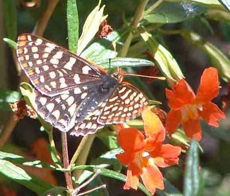 Checkerspot Buterfly on a Diplacus punceus - grid24_12
