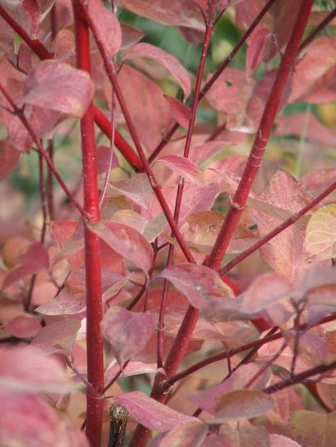 Cornus stolonifera, Red Stem Dogwood has red fall color. - grid24_12