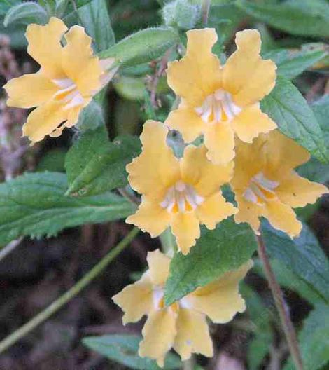 The Conejo monkey flower is big, big flowers, bigger bush. Mother plants are 25 years old.