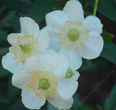 Carpenteria californica, Bush anemone flowers