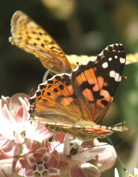 Asclepias speciosa with a Painted lady butterfly and a Fritilary Butterfly. Milkweeds are a wonderful addition to a California gardens. - grid24_12