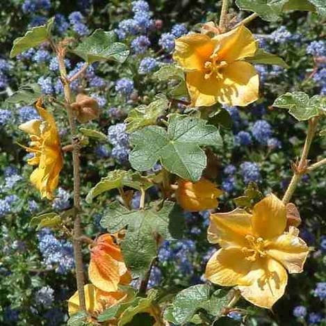 Fremontodendron California Glory Flannel Bush, Fremontia