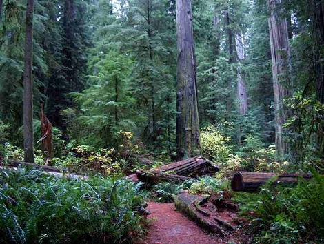 Coastal redwood forest with the remains of logging from decades ago that has created an opening in  California's Coastal Redwood forest filled with  Western Sword Fern (Polystichum munitum), and Elderberry. Please do not steal our photos! - grid24_12