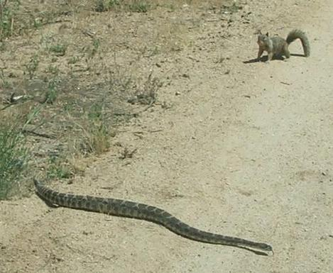 Squirrel and Rattle Snake. The Ground squirrel has made his tail bigger to distract the snake. - grid24_12