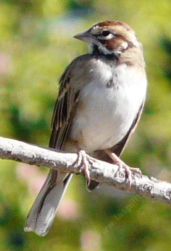 Lark Sparrow, Chondestes grammacus looking sideways - grid24_12