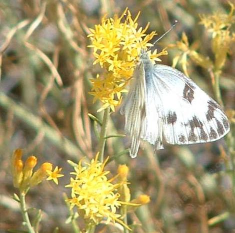 Common white butterfly on a Rabbitbrush - grid24_12