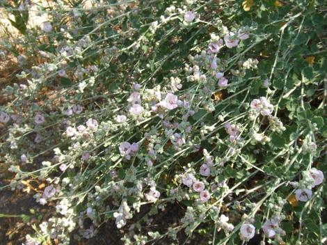 Here are the lush flower sprays of Malacothamnus marrubioides, Pinkflowered Bushmallow, in the central coast ranges, Santa Margarita garden, California.. - grid24_12