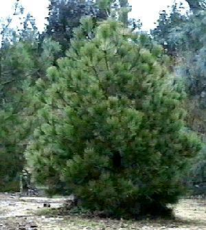 Pictured here is the luscious Pinus jeffreyi, Jeffrey Pine, growing in our Santa Margarita garden.