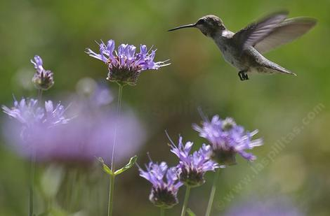 A young Anna Hummingbird on Salvia Alpine, Cleveland Sage. Cleveland Sage is drought resistant and can look good with 7-8 inches of rainfall. Your native garden needs very little water in a drought  to  look and smell good. - grid24_12