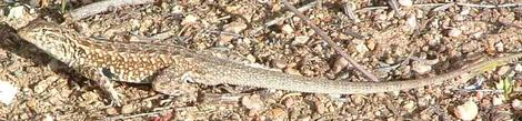 A rather old picture of Side splotched lizard, Uta stansburiana  - grid24_12
