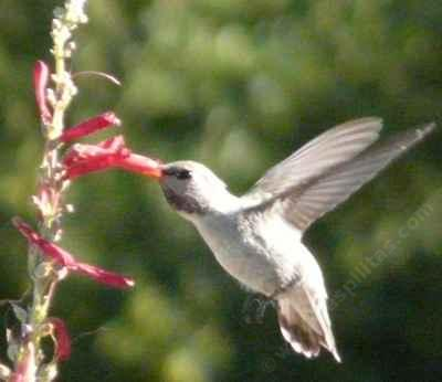 Costa hummingbird working a Penstemon centranthifolius  flower - grid24_12