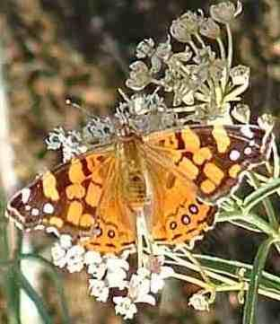 West Coast Painted Lady Butterfly on a Milkweed - grid24_12