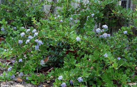 Ceanothus Heart's Desire makes a knee high groundcover with blue flowers. - grid24_12