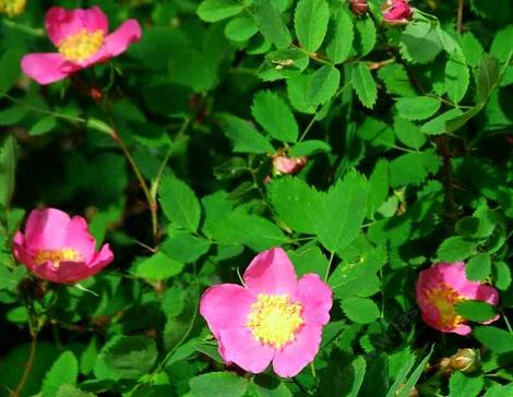 Rosa gymnocarpa Wood Rose - grid24_12
