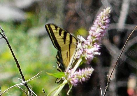 Agastache with a Swallowtail Butterfly