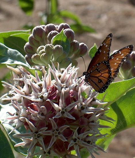 Asclepias speciosa Showy Milkweed  with a Striated Queen Butterfly