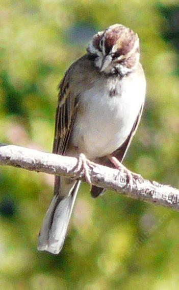 Lark Sparrow, Chondestes grammacus looking down - grid24_12