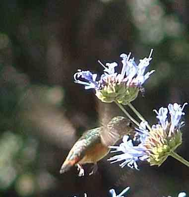A Rufous Hummingbird on a Cleveland Sage. - grid24_12