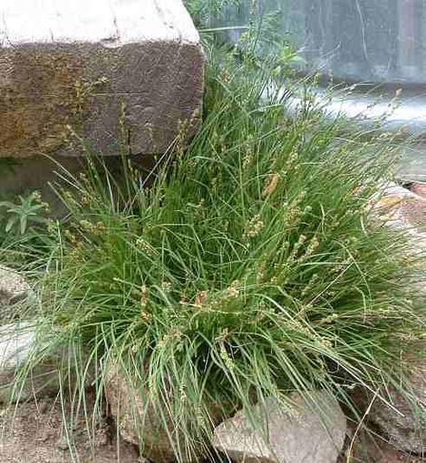 Carex praegracilis (clustered field sedge) - grid24_12