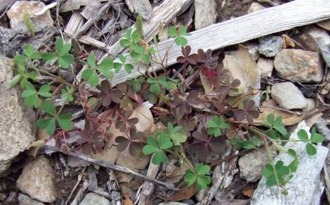Oxalis , Wood sorrel weed - grid24_12