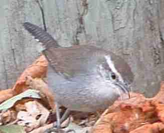 Bewick's Wren looking for bugs in mulch - grid24_12
