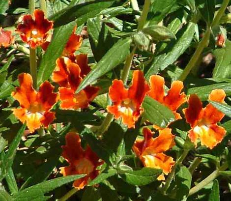 Santa Susana Monkey Flower, Diplacus  rutilus, has a BIG red flower and grows native in North Los Angeles, Pasadena. Los Angeles has GREAT native plants! - grid24_12